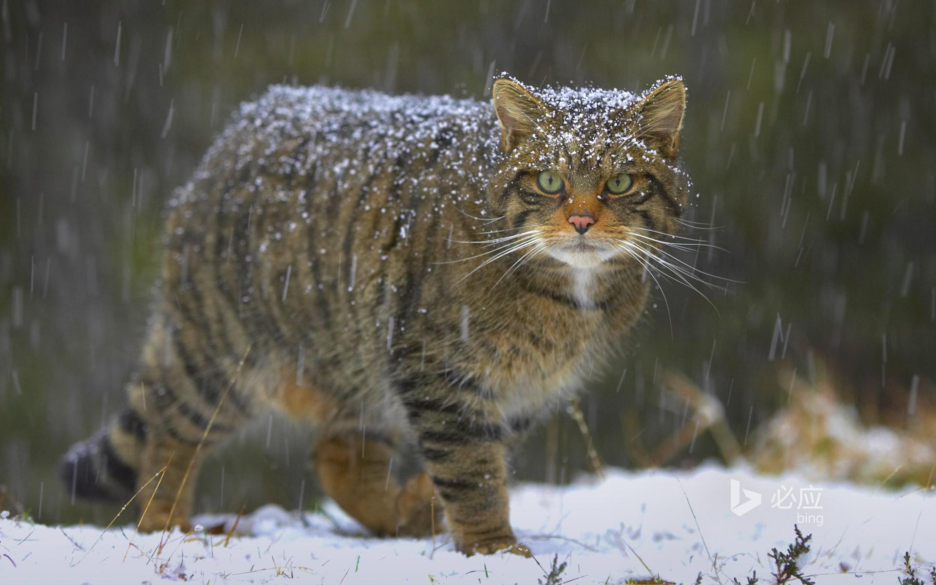 european cats � felisuk