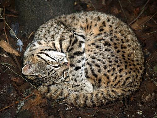 geoffroys-cat (1)