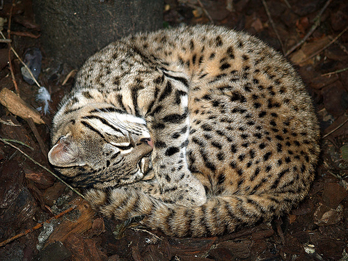 geoffroys-cat (1)