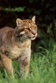 Temminck's or Asian golden cat (Catopuma temmincki) Southeast Asia