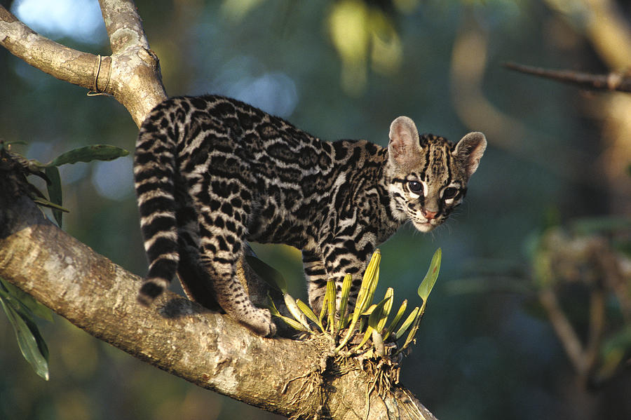 margay-leopardus-wiedii-wild-kitten-gerry-ellis