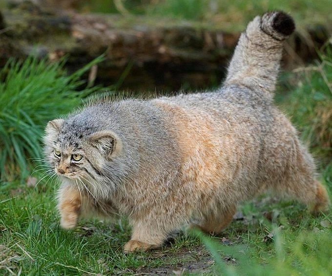 @pallascats