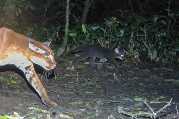 0127.Caracal-aurata-kittens-2.closeup