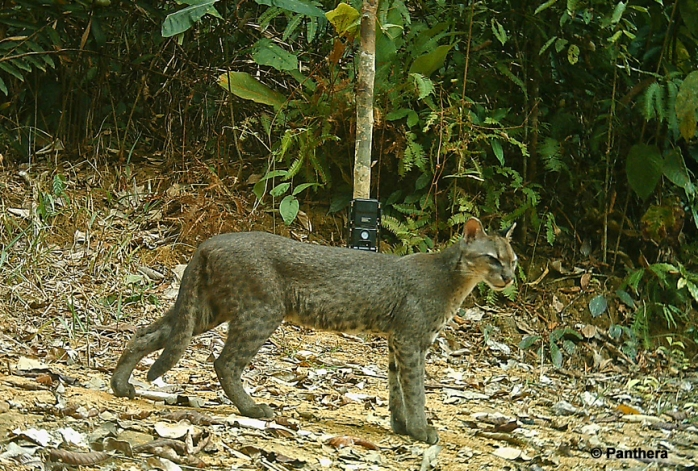 African-golden-cat_Gabon-2 (1)