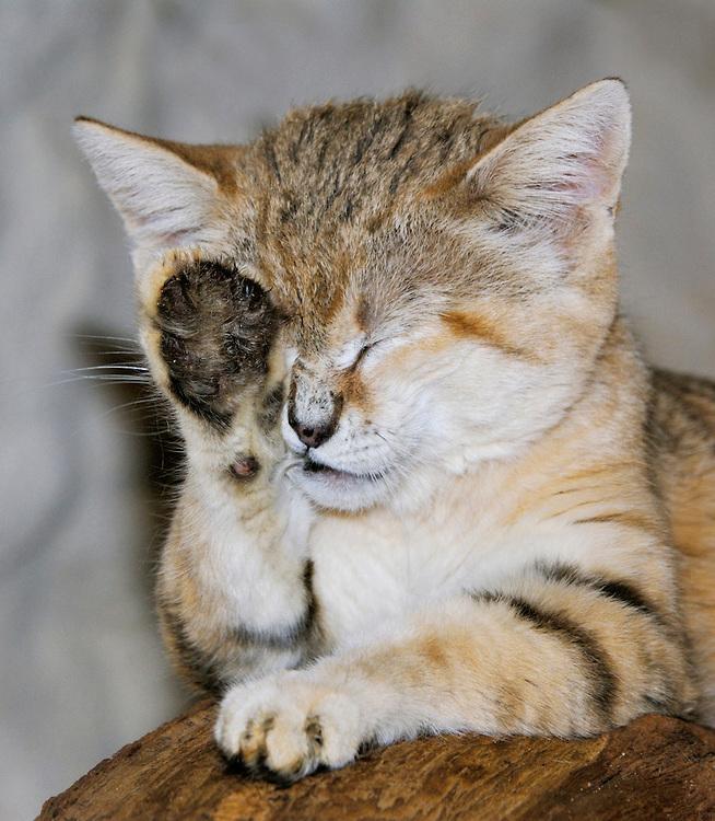 Sand cat (Felis margarita),  North Africa, Arabian Peninsula and