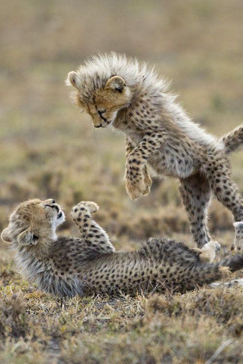 e33ac2e36c1dfbcba1a237a1d0dc01fb--baby-cheetahs-plays