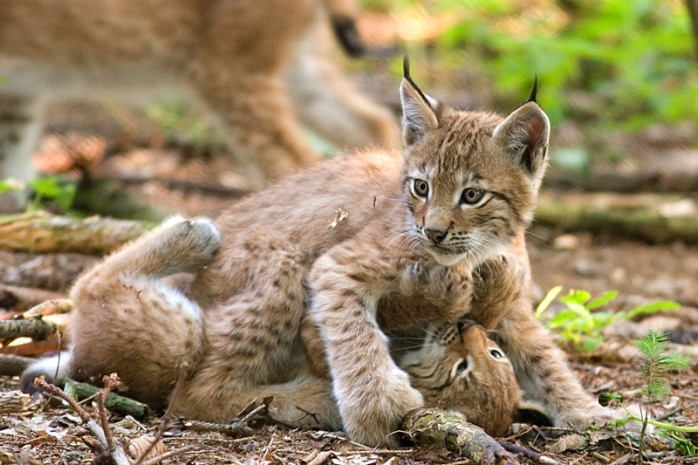 Two_lynxes_playing