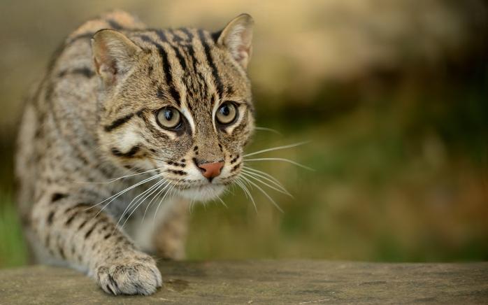 civet_cat_fishing_cat_fishing_cat_asian_view_wild_59819_3840x2400