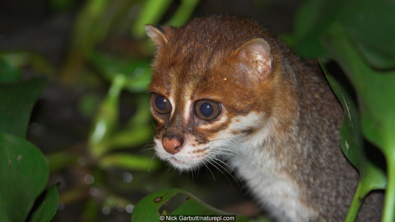 FLAT HEADED CAT