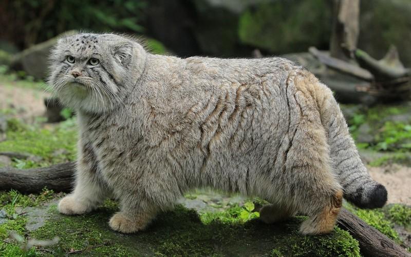 pallas8217s-cat-manul-wild-cat-wallpaper-68065