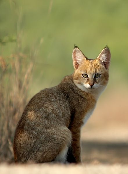 c7a70426b911da77501796eebef74079--alfonso-jungle-cat