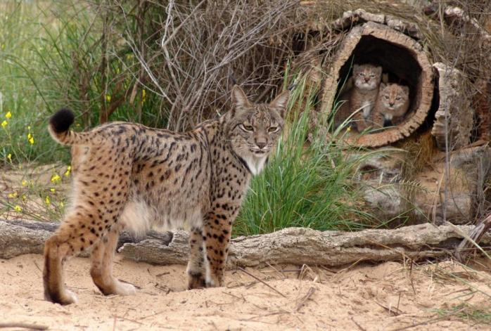 Iberian_Lynx_mother_with_two_cubs_02
