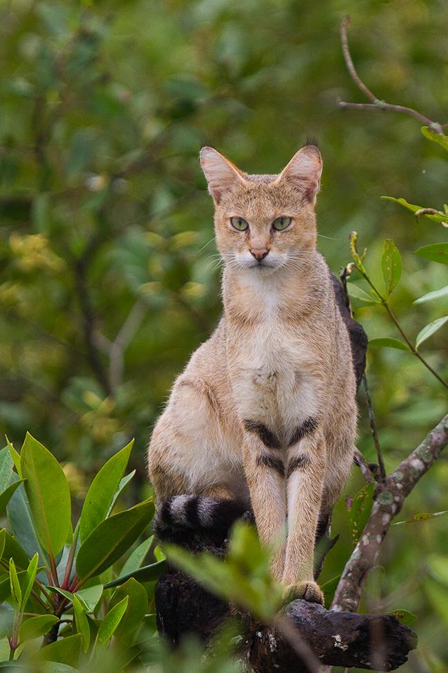 Jungle_Cat_on_tree_at_Sundarban,_West_Bengal,_India