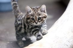 mystery-of-nature-black-footed-cat-or-tiger-ant-4