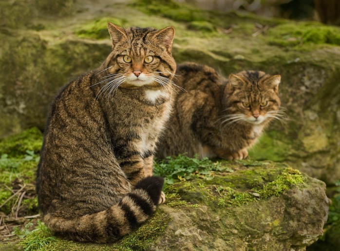 Scottish-Wildcat-MEWD0057 (1)