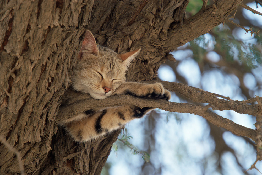 African wild cat sleeping in camelthorn tree