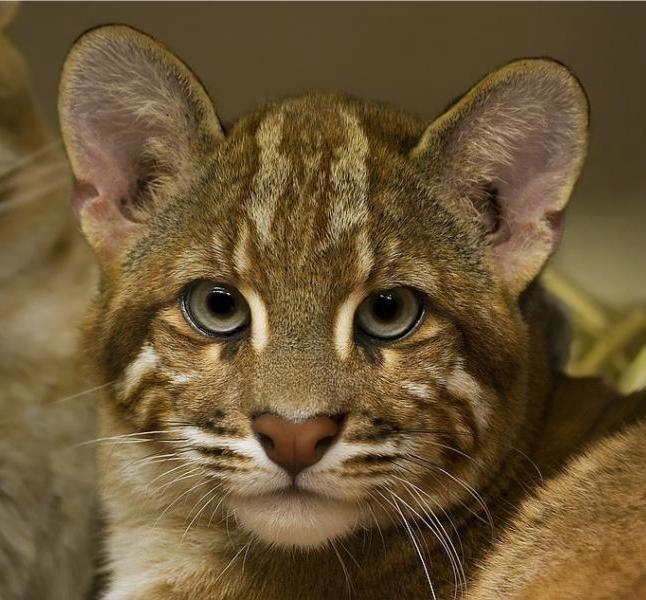 0be404c6fff3eed30de89dff18031bfc--asian-cat-baby-animals