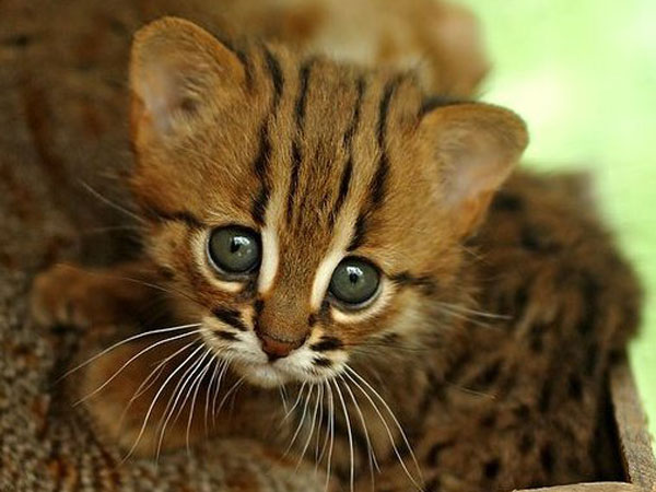 30-rusty-spotted-kitten