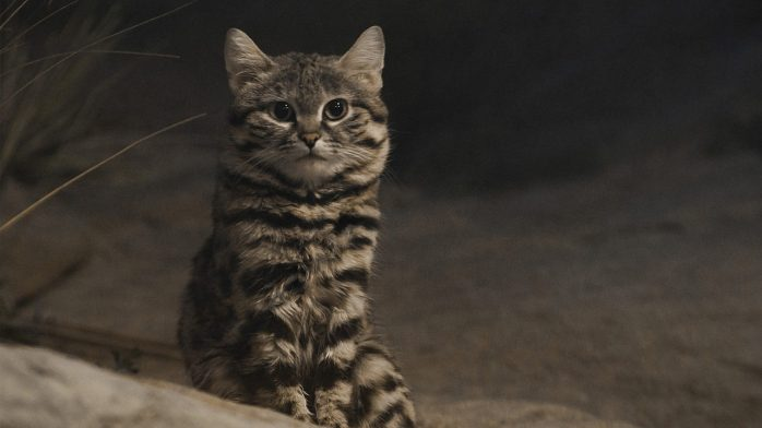 Black-footed cat, deadliest cat in the world.jpg_10054991_ver1.0_1280_720