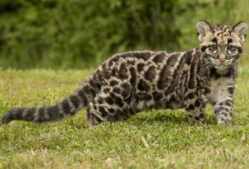Cloud_Leopard_Cub