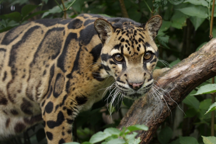 Clouded-leopard2.0