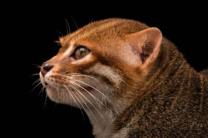 A flat-headed cat (Prionailurus planiceps) at the Taiping Zoo.