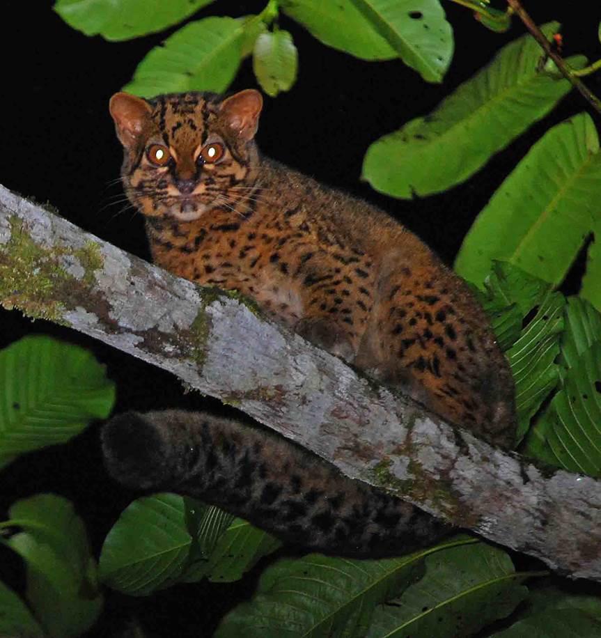 borneo-cat-1 (1)