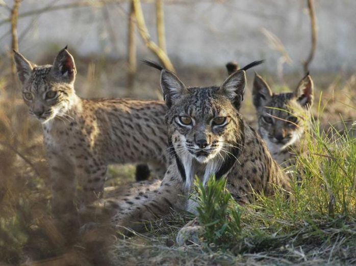 iberian_lynx_mother_with_two_cubs_edit