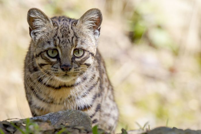 Geoffroys-Cat-Gallery