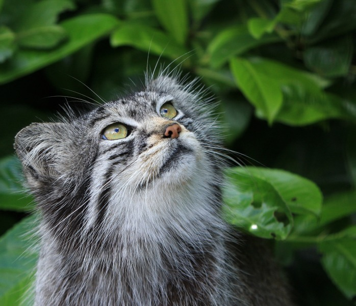 pallas-cat-portrait