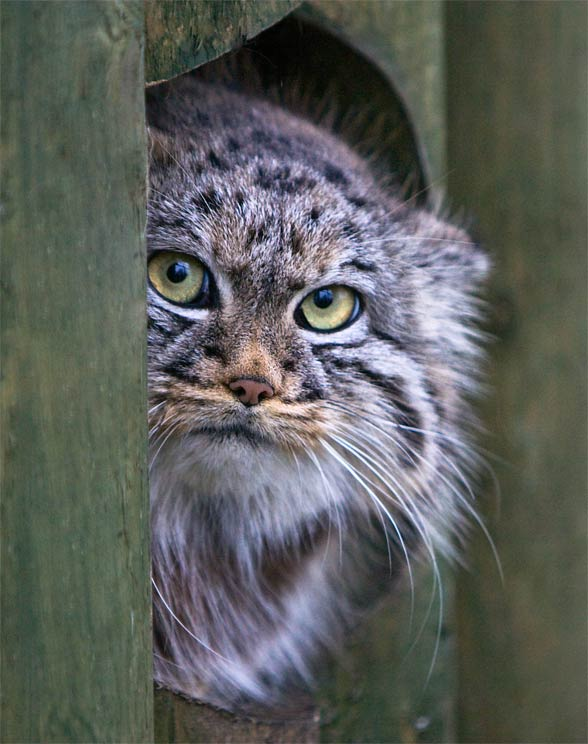 Pallass_cat-2