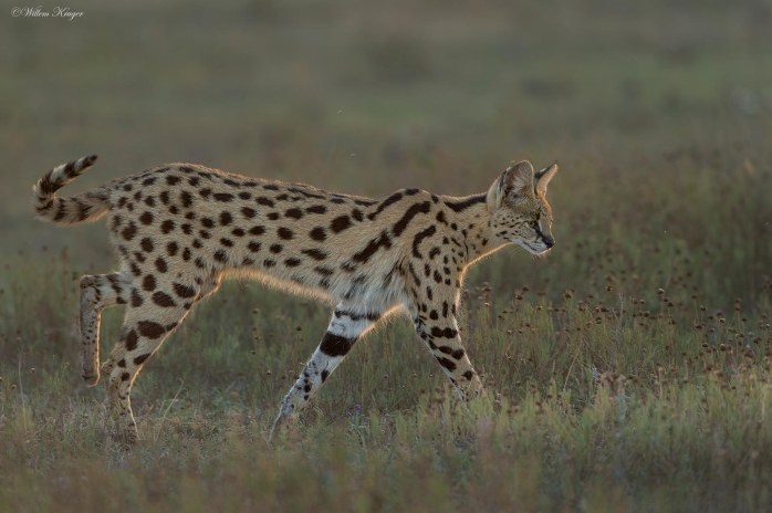 serval-tail-1920-300k-72d-srgb-w