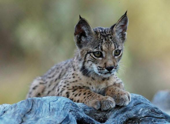 Iberian_Lynx_cub_12