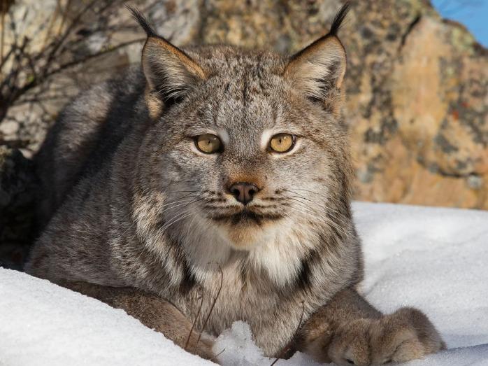 newenglandforestry-canada-lynx