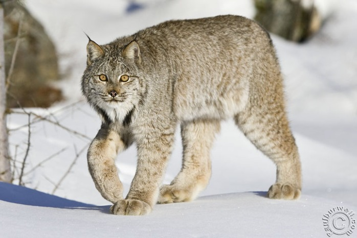 Canada Lynx walking across some snow - CA
