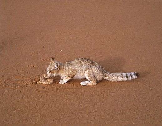 Sand Cat eating common sand viper (Felis margarita) Sahara Niger Tenere