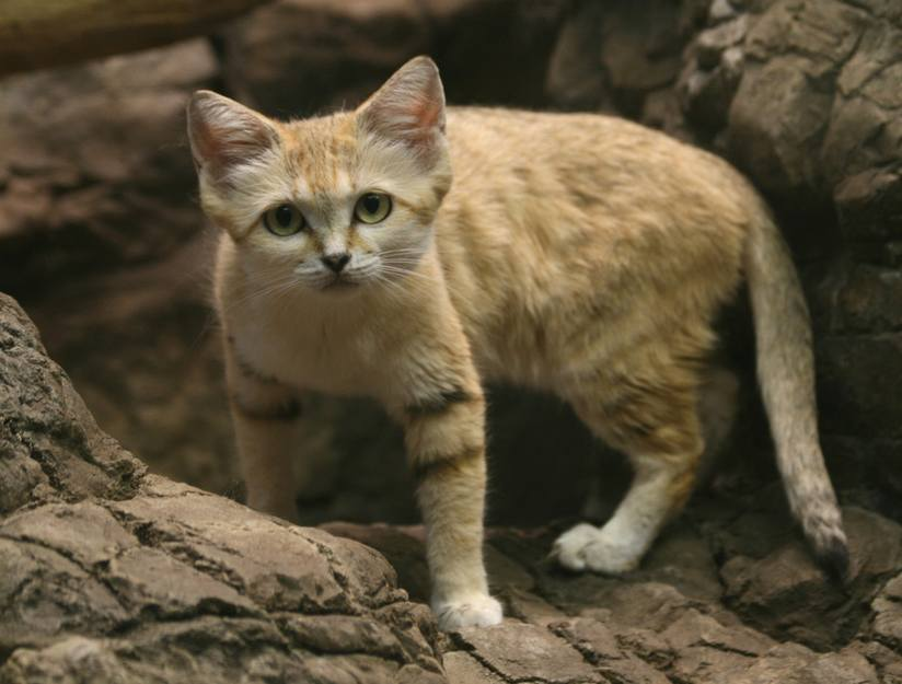 Sand-cat-looks-like-domestic-cat.jpg.824x0_q71