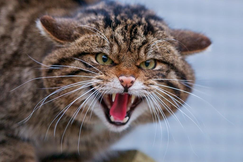 hissingwildcat