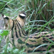 serval4