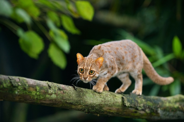 Rusty-spotted-cat-059.jpg